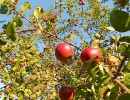 #jedzjabłka