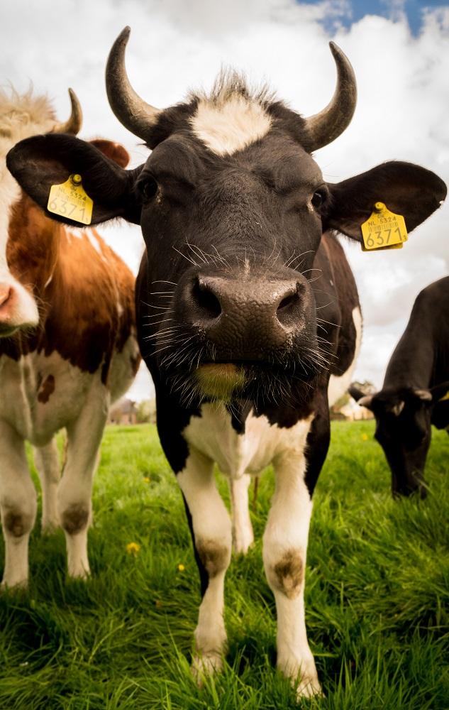 Cows-free-license-CC01